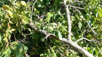 Опасно дърво на пътя от Пиргово към Русе