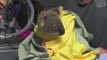 Благотворителен базар у нас събира средства в помощ на коалите в Австралия
