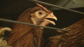Птичи грип ще наложи умъртвяването на над 70 000 домашни птици в Ямболско