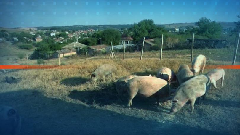 Частните стопани ще получат компенсация за ликвидираните заради АЧС свине,