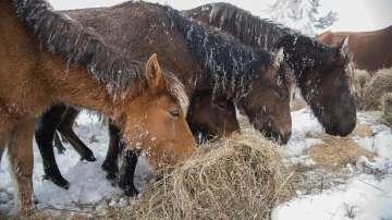 Екип от ветеринари ще окаже помощ на бедстващите коне в Осоговската планина