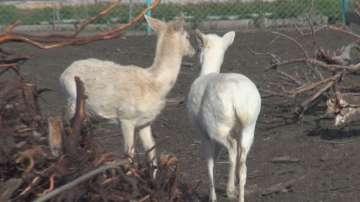 Две бели кошути пристигнаха в зоопарка в Бургас