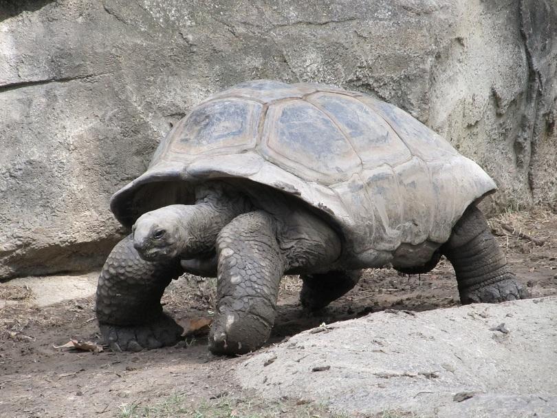 Крадци задигнаха 123 бебета на гигантски костенурки от център за