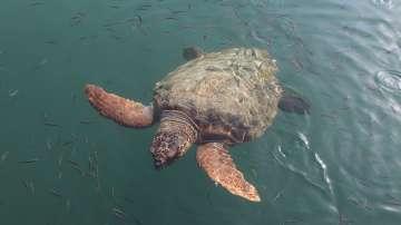 Лодки с туристи раняват защитен вид костенурки на о-в Закинтос