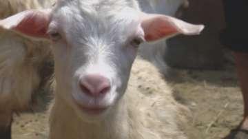 От утре продължава умъртвяването на животни в засегнатите от чумата стада