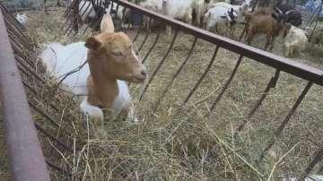 След ден започва изплащането на обезщетения за евтаназираните животни в Ямболско