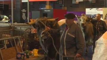 Крава избяга преди откриването на изложение в Париж