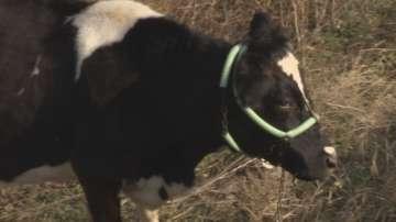 Абсурд: Крави пасат на натоварено кръгово в София