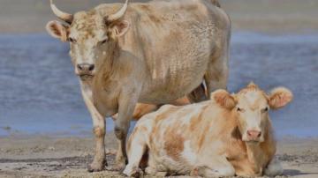 Крави, отнесени от урагана Дориан, бяха намерени живи и здрави