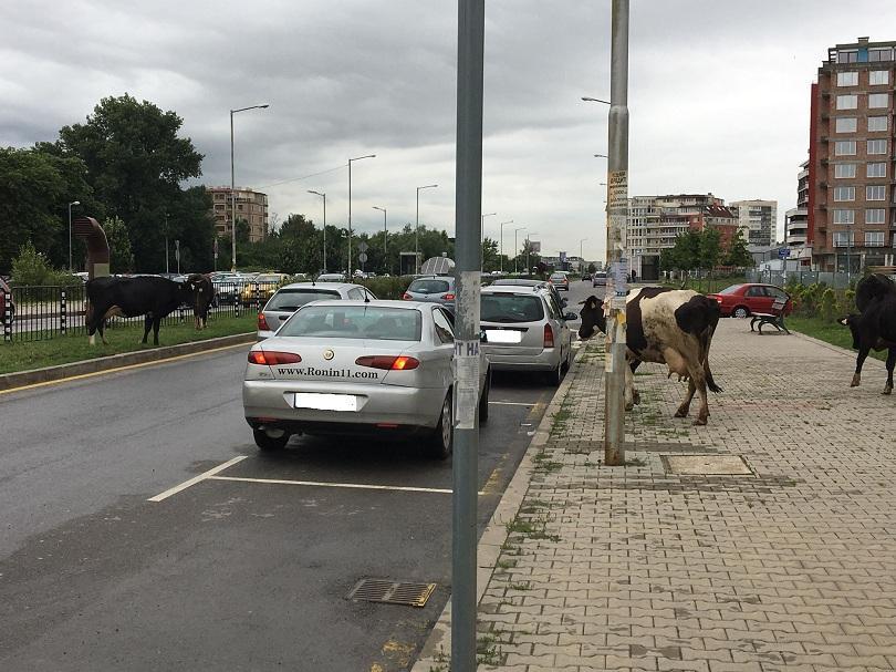 снимка 5 Четири крави и един бик си направиха разходка по пътното платно в Младост 3