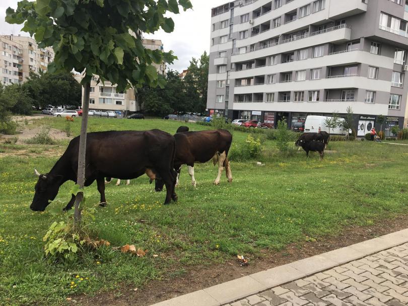 Четири крави и един бик си направиха разходка по пътното платно в Младост 3