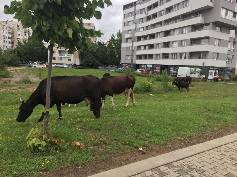 снимка 1 Четири крави и един бик си направиха разходка по пътното платно в Младост 3