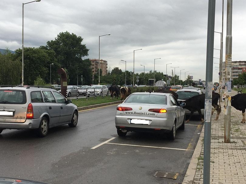 снимка 7 Четири крави и един бик си направиха разходка по пътното платно в Младост 3
