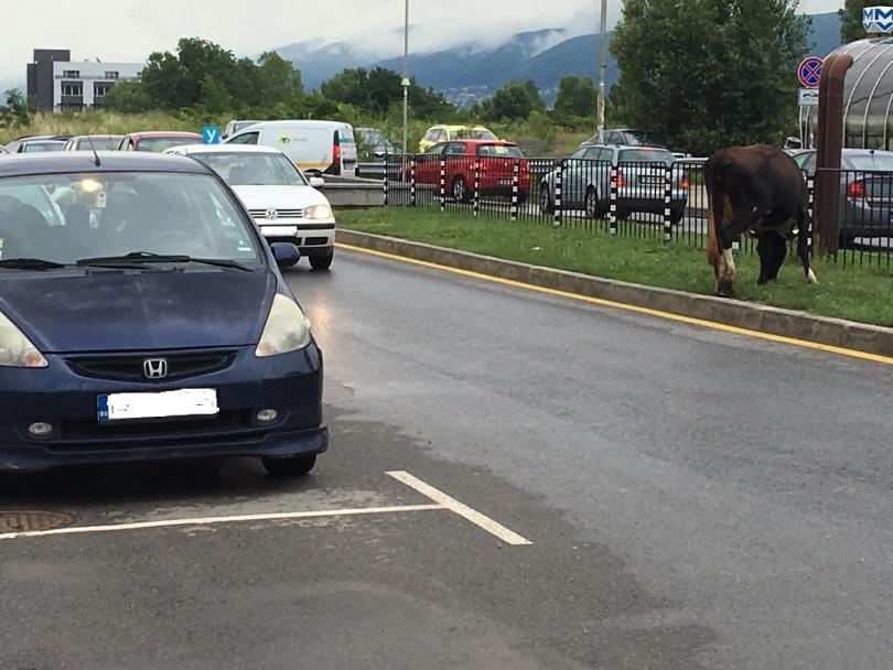 снимка 4 Четири крави и един бик си направиха разходка по пътното платно в Младост 3