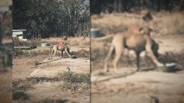 Арести заради нелегални кучешки боеве в Пловдив