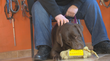 Фондация Очи на четири лапи  търси приемни семейства за кучета-водачи
