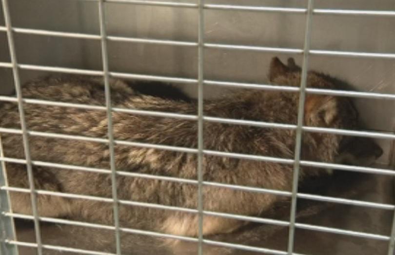 Снимка: Изненада - естонци спасиха куче, което се оказа вълк