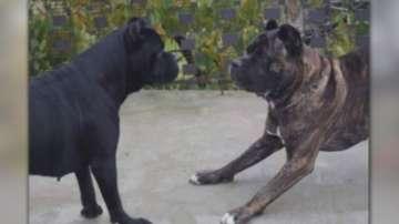 Собственикът на кучетата убийци остава в ареста