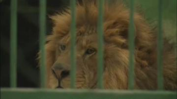Прокуратурата изяснява състоянието на лъва Любо от зоокъта в Разград