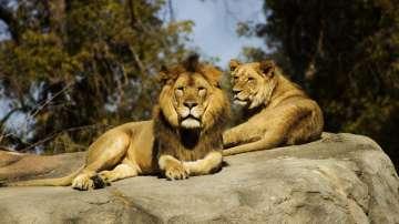Най-малко 14 лъва избягаха от национален парк в ЮАР