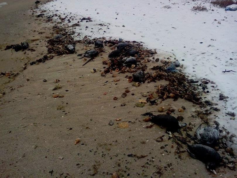 Мъртви птици са открити в района на Шабла и Дуранкулак