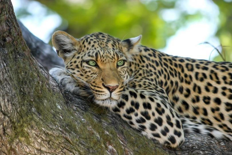 Леопард отвлече от дома му в Индия 3-годишно момченце, което