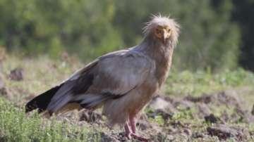 Отрови за хищници убиват застрашените белоглави лешояди в района на Кресна