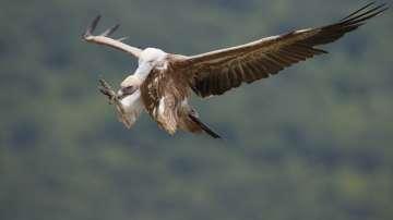 Еколози: Отровата за белоглавите лешояди е поставена в труп на теле
