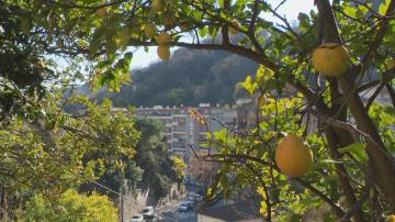 Лимоните от Мантон: Как във Франция съживяват този уникален сорт?