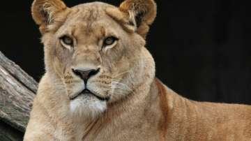 Лъвица уби дългогодишния си партньор в зоопарк в Индианаполис