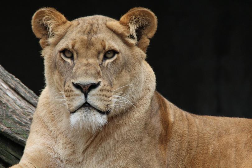 Специалисти се опитват да установят какво е накарало лъвицата Дзури