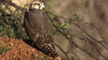 Ловен сокол (лат. Falco cherrug)