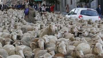 2000 овце минаха по улиците на Мадрид като част от традиционен парад