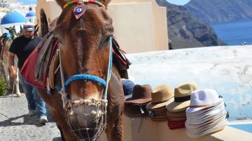 Нов закон и солени глоби защитават магаретата на Санторини