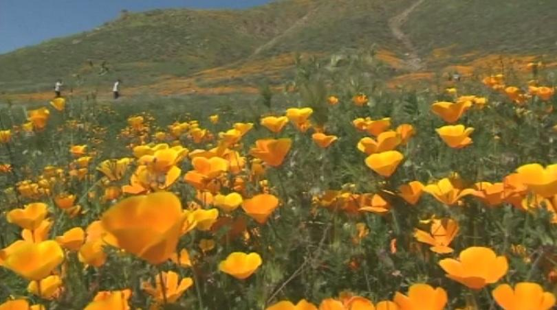 оранжеви макове привличат посетители калифорния