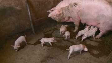 80 000 прасета са умъртвени в две свинеферми в Русенско