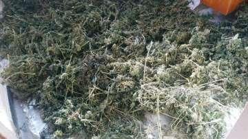 30-годишен мъж от Свищов е задържан с голямо количество марихуана