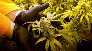 Конфискуваха 380 кг. марихуана, отглеждана от инспектор на БАБХ-Шумен