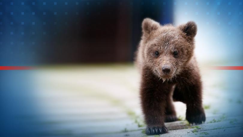 Зоопаркът на Сараево се оказа най-подходящият дом за малко мече,