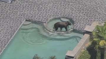Дива мечка се разхлади в басейн в Лос Анджелис
