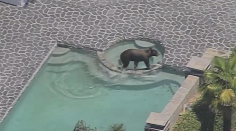 Огромна черна мечка огласи с рева си тих квартал на