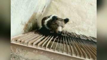 Кафява мечка беше спасена от китайски ВЕЦ