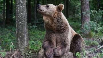 Румъния обмисля да разреши лова на мечки заради свръхпопулация