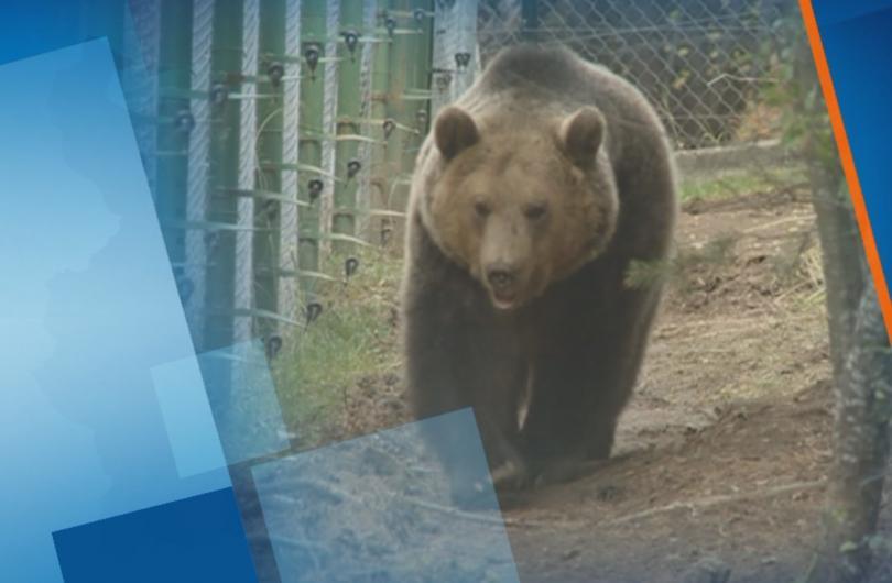 Снимка: Голяма част от мечките в Белица заспаха зимен сън