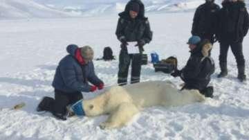 Полярните мечки са все по-застрашени на норвежките острови