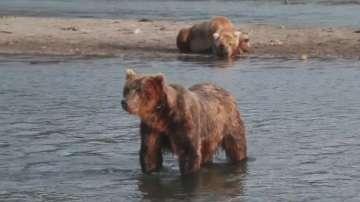 Десетки изгладнели мечки излязоха на туристически маршрут в Камчатка