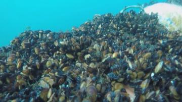 Еколози от Варна с иновация за отглеждане на миди в Черно море