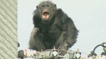 Упоиха избягало шимпанзе в Япония