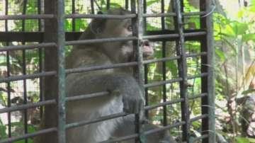 Маймуни тероризират села на остров Ява