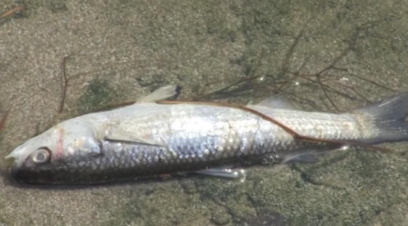 извършват повторна проверка сигнал мъртва риба водоем поморие